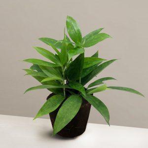 dracaena-surculosa-maculata