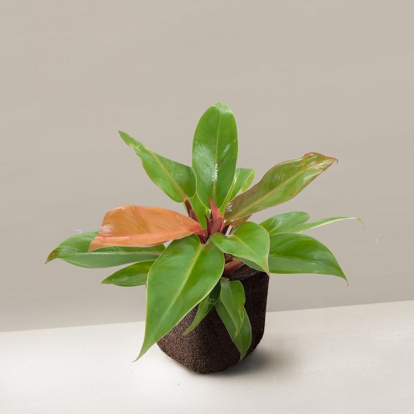 pafcal-philodendron-gold-fire