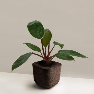 pafcal-philodendron-imperial-red-midorie-malaysia