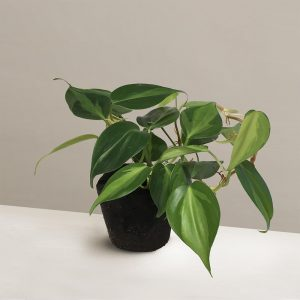 philodendron-variegated-midorie-malaysia