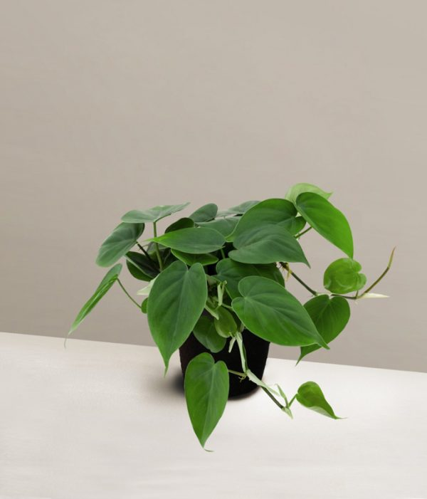pafcal-philodendron-green