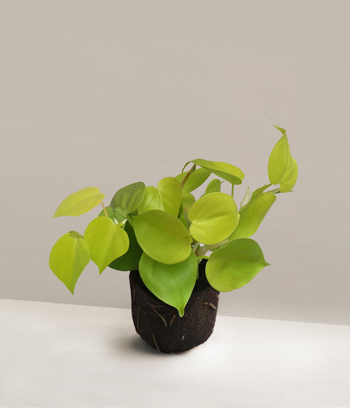 pafcal-philodendron-lemon-lime